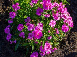 Nelken im Blumenbeet