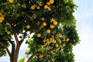Ein Pampelmusen / Grapefruit Baum