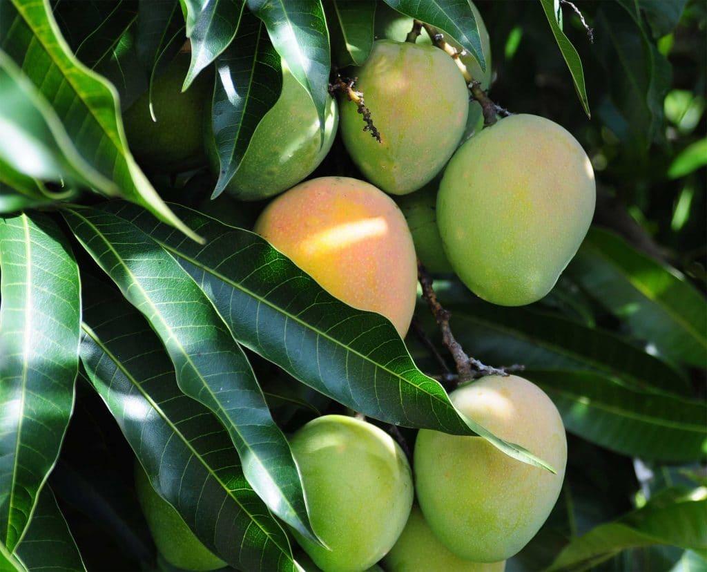 Mango Baum 542674